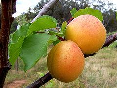 240px-Apricots