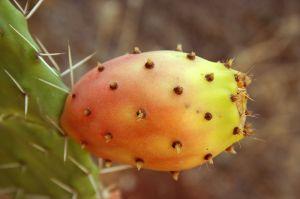 800px-Opuntia_ficus-indica_fruit9