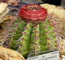 220px-Melocactus_acipinosus_1