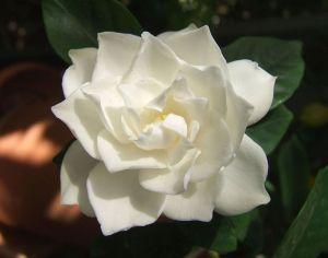 800px-White_Gardenia_flower