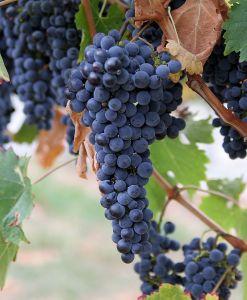 800px-Grapes
